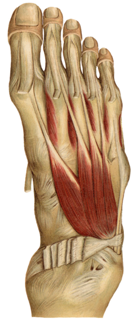 Anatomyexpert Extensor Digitorum Brevis Structure Detail
