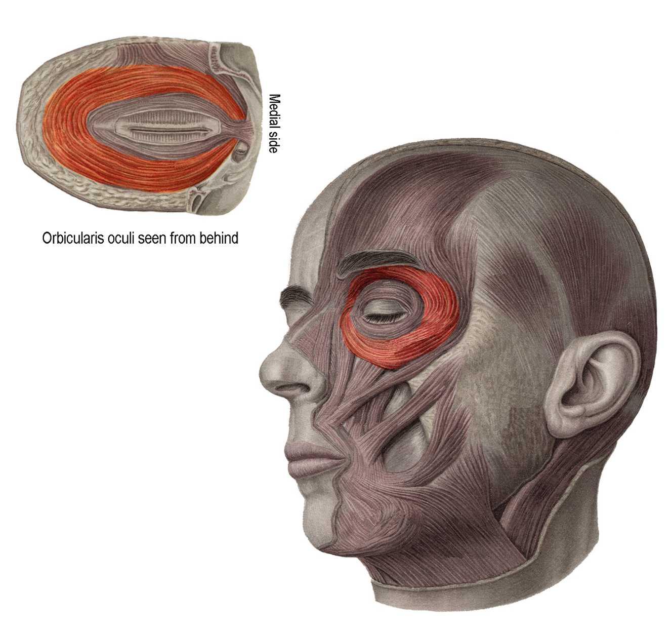 Anatomyexpert Pars Orbitalis Structure Detail
